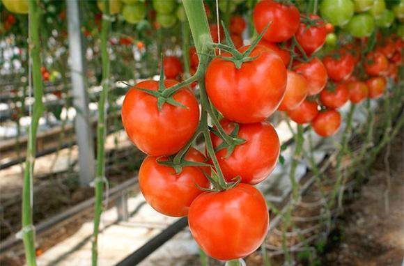 Распутывание генетического наследия томатов - Agrobiz.net