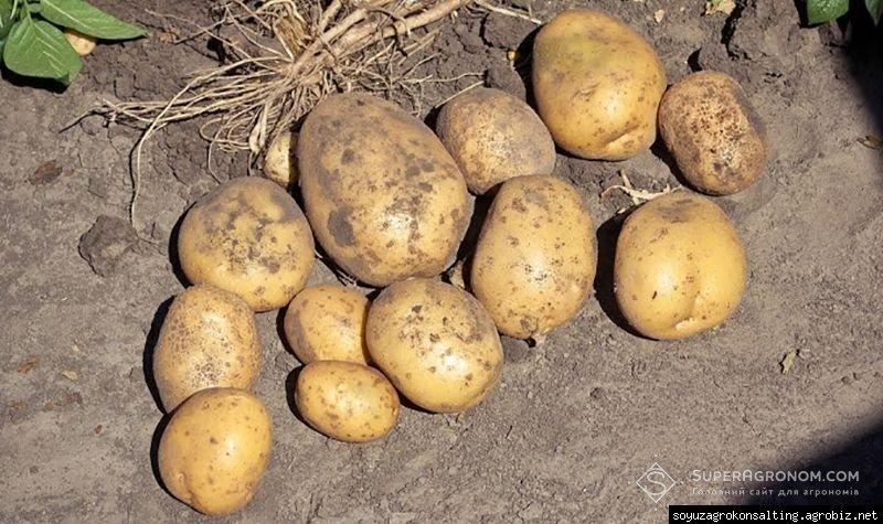 6 чинників, що вплинули на цьогорічний урожай картоплі. - Agrobiz.net