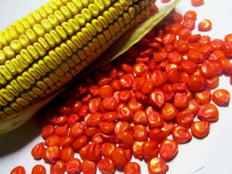Технологические системы возделывания кукурузы - Agrobiz.net