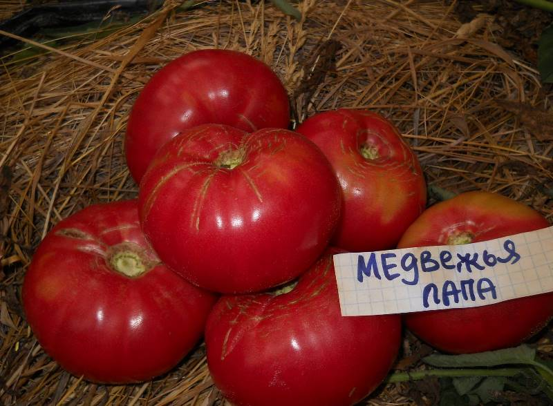 помидоры медвежья лапа фото